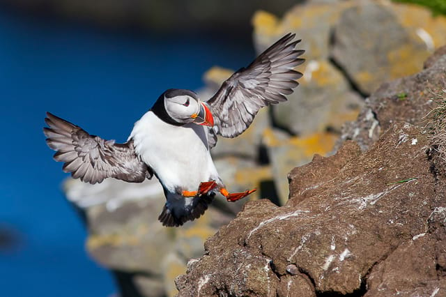 Sea-birds-puffins-in-iceland