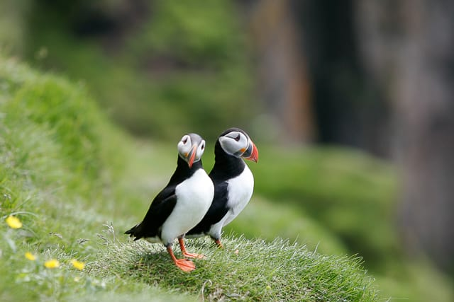 Puffins-couple-in-iceland