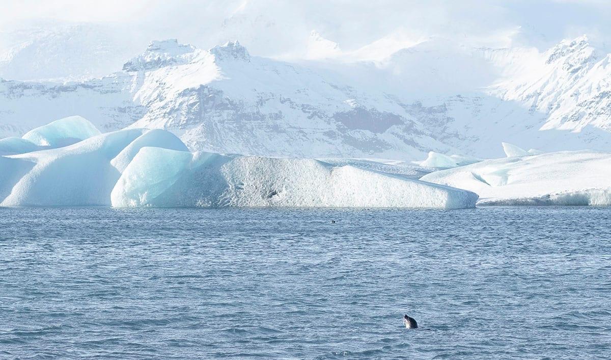 A seal swimming in the Jokulsarlon Glacier Lagoon