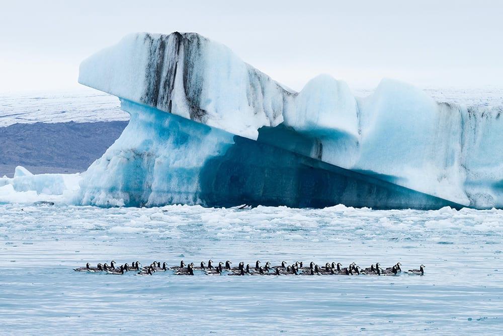 Vivid wildlife at Jokulsarlon Glacier Lagoon in summer Iceland