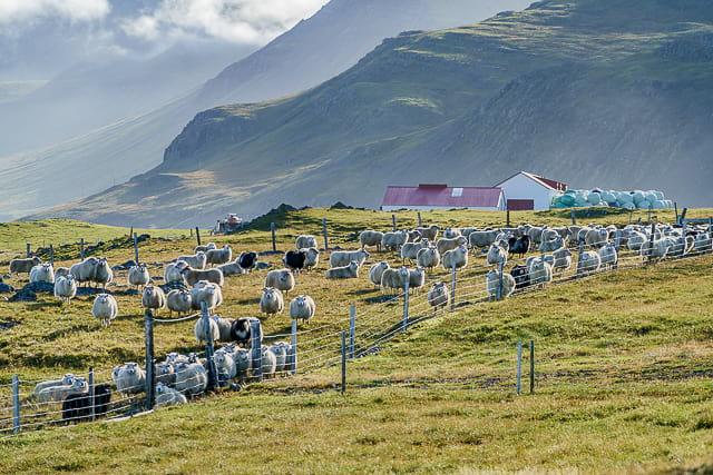 sheep-essentials-of-iceland