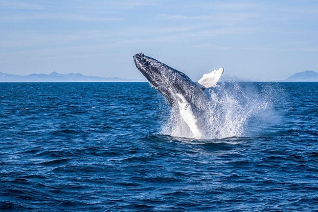 Whale watching is a must thing to do if you are travelling in Iceland