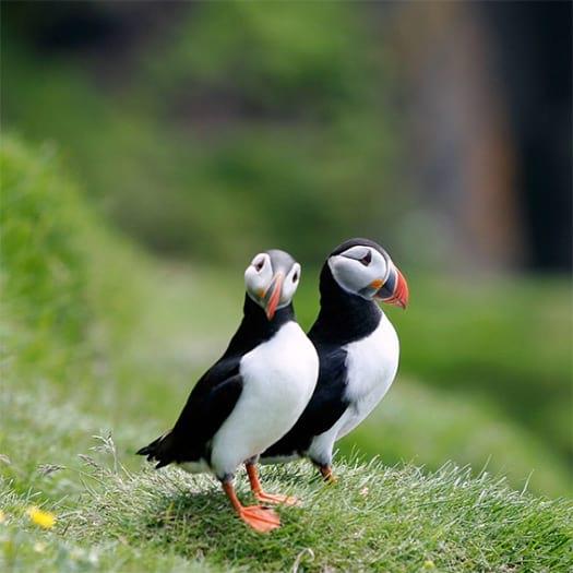 puffins-birds-in-iceland
