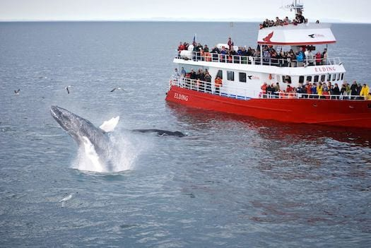 Iceland-whale-watching-humpback-breach-tour-boat.jpg