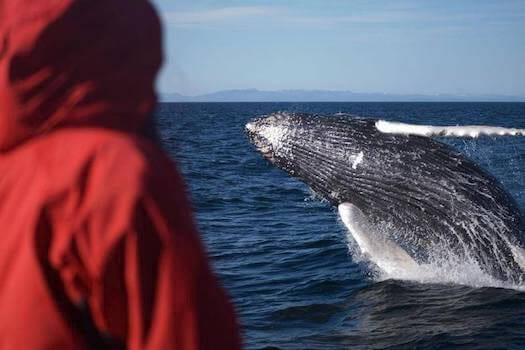Iceland-whale-watching-jump-humpback-breach.jpg