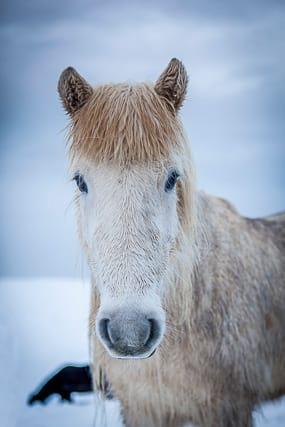 White-icelandic-horse