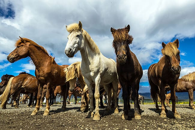 Icelandic-horses-in-Iceland.jpg