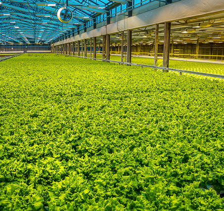 salads-grow-in-greenhouses-in-iceland