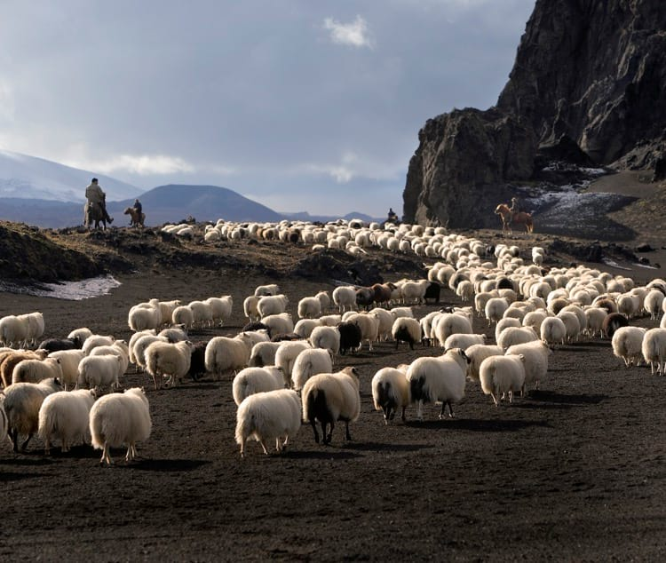 Sheep season in Iceland