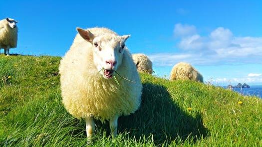 sheep-Iceland.jpg