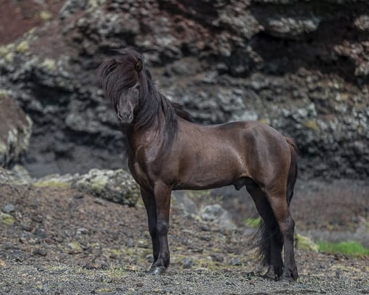 icelandic-horse-in-wild-nature
